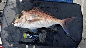 Click image for larger version.  Name:Crowdy Snapper (2).jpg Views:0 Size:76.2 KB ID:120762