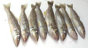 Click image for larger version.  Name:8 fish.jpg Views:0 Size:41.5 KB ID:120617